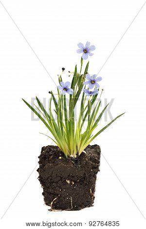 Sisyrinchium Devon Skies, Blue-eyed Grass