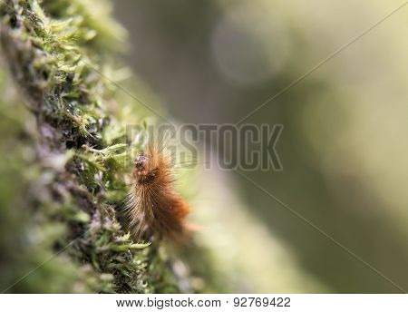 Ruby Tiger Caterpillar