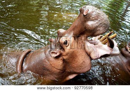 Hippo Giant opened its mouth on the water.