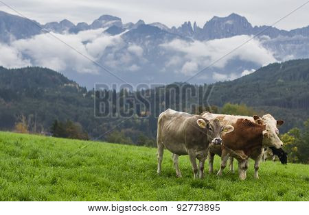 cows on a green Alpine meadow, Italy