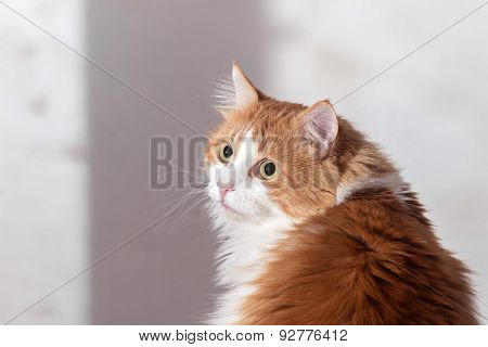 Offended Frightened Red Cat