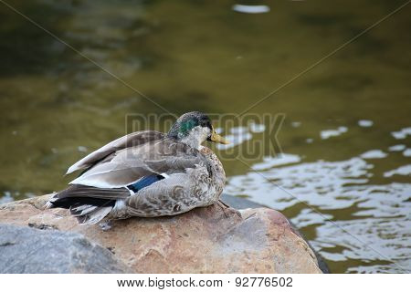 Male Mallard During Molt