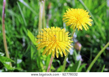 Yellow-blown Dandelion