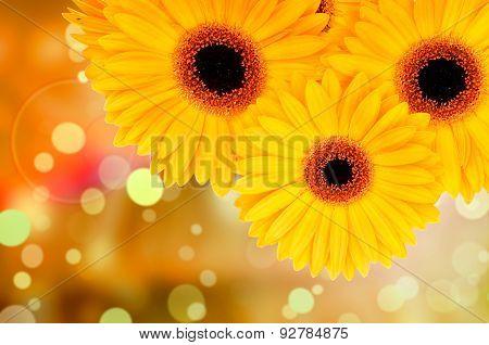 Orange gerber flowers