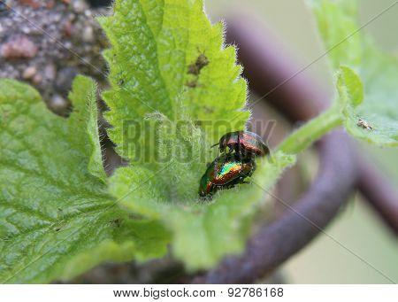 Mating Dead-nettle Leaf Beetle