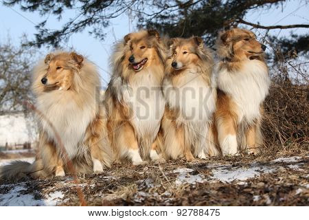 Group Of Scotch Collies In The Forest