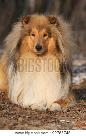 Amazing Scotch Collie Lying In Forest