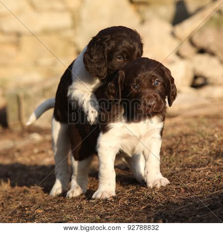 Puppies Of Small Munsterlander Playing Together