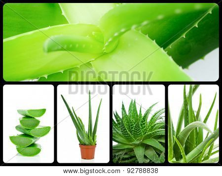 Aloe plant theme collage