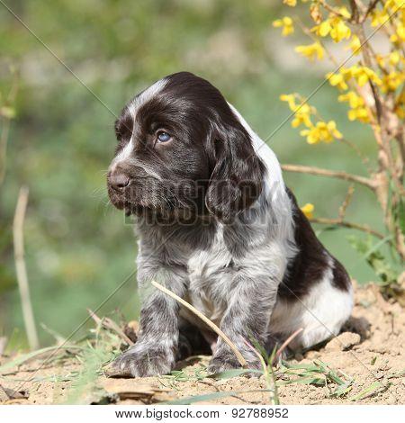 Beautiful Puppy Of German Quail Dog