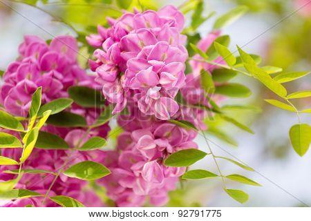 Blossoming Pink Acacia (robinia Viscosa) Close Up