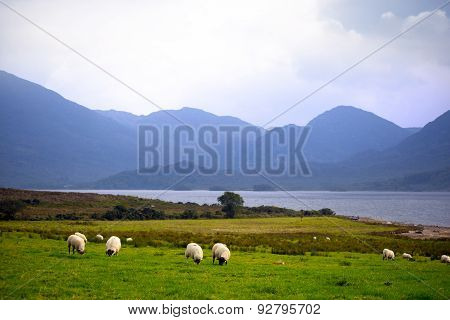 Sheep And The Mountains Of Kerry