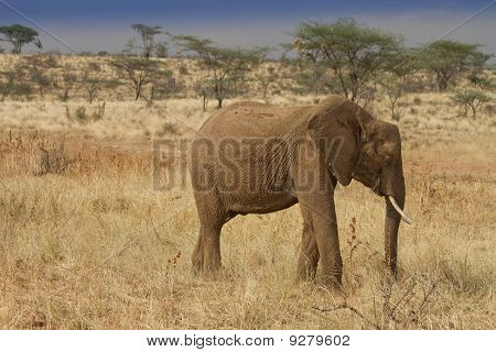 African Elephant Grazing In Samburu Reserve