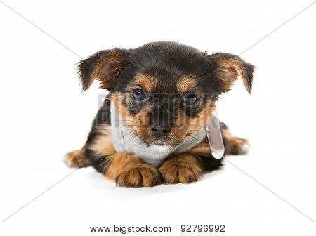 Small Yorkshire Terrier T-shirt