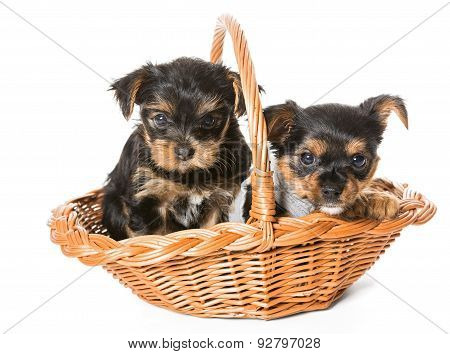 Two Little Yorkshire Terrier Puppy Sitting In A Basket