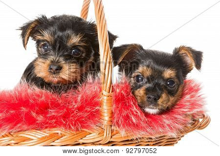 Two Cute Yorkshire Terrier Puppy In A Basket
