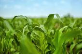 pic of maize  - Young Maize Corn Crops Leaves in Field Green Plants in Cultivated Plantation Selective Focus - JPG