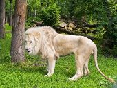 foto of leo  - White South African lion  - JPG