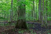 pic of alder-tree  - Summertime alder bog forest with small pond under shady canopy of stand and old oak tree in foregroundBialowieza ForestPolandEurope - JPG