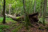 picture of decomposition  - Autumnal deciduous stand with dead tree partly declined in foregroundBialowieza forestPolandEurope - JPG