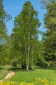 foto of birching  - Beautiful natural background with long thin birch trees with green leaves in a birch grove - JPG