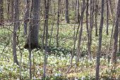 picture of trillium  - Forest floor covered with pretty white Trilliums - JPG