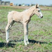 pic of foal  - Little white foal on the field summer day - JPG