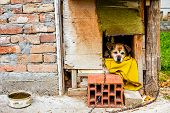 picture of dog-house  - Dog is peaking from his wooden dwelling house - JPG