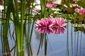 stock photo of ponds  - water lily Nymphaea swimming in a pond - JPG