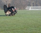 picture of wild turkey  - Wild turkey strutting for a mate in the spring mating season - JPG