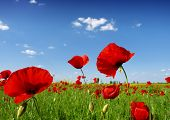 picture of nubian  - red poppy flowers - JPG
