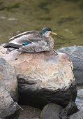 pic of male mallard  - A male mallard  - JPG