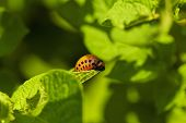 picture of larva  - Colorado potato beetle larva on green leaves of potato - JPG