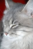 foto of sleepy  - zoomed sleepy face of young gray cat - JPG