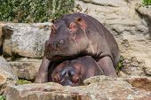 stock photo of hippopotamus  - Large hippo  - JPG