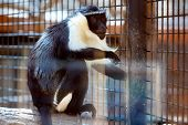 picture of marmosets  - Monkey sitting on wood log in zoo cel - JPG