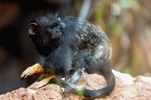 picture of marmosets  - Black monkey red handed tamarin sitting on stone in zoo - JPG