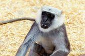 image of marmosets  - Gray langurs or Hanuman langurs monkey in zoo - JPG
