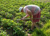 stock photo of hoe  - Farmer hoeing vegetable garden in springtime - JPG