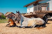 stock photo of foal  - adult horse mare white and her brown foal is lying near a wooden cart on a sunny day - JPG