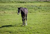 stock photo of foal  - a young brown Holsteiner foal standing in the sun on a pasture - JPG