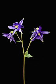 picture of columbine  - Close up of Aquilegia flowers also known as Columbines against a black background - JPG