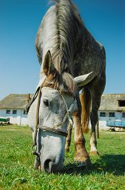 image of big horse  - muzzle of a horse close up horse nibbling the green grass - JPG