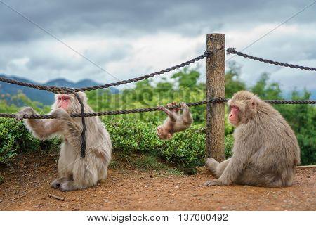 Front view of Monkey family playing in Arashiyama mountain, Kyoto