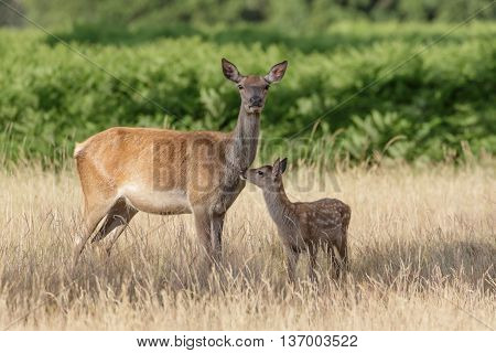 Red Deer (Cervus elaphus) mother and calf keeping close together.