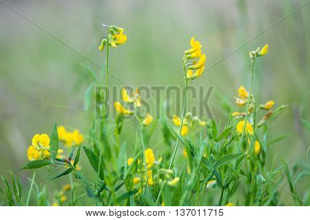 Meadow vetchling (Lathyrus pratensis) in meadow. A scrambling member of the pea family (Fabaceae) seen here with yellow flowers in calcareous grassland