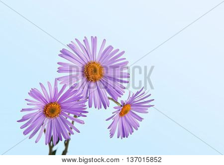 Aster amellus closeup in glass vase. Close view of purple flowers at blue background. Violet daisy bouquet.