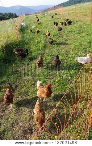 Free range chickens roam the yard on a farm. Chickens on traditional free range poultry farm