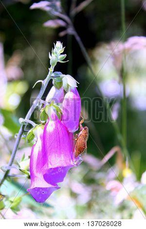 Newly emerged Cicada on a Foxglove Flower