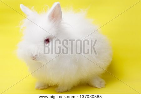 Baby Of White Rabbit On Yellow Background